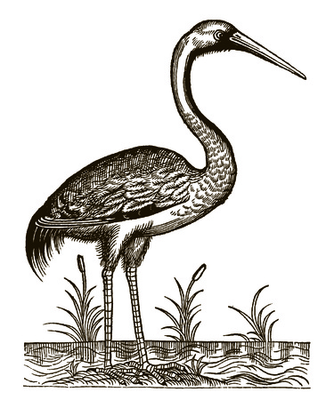 Common crane (grus) sitting between the reeds on a waterside. Illustration after a historic woodcut engraving from the 16th century