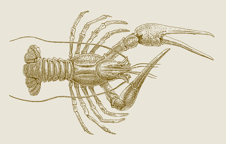 Danube, galician or turkish crayfish (astacus leptodactylus) in top view. Illustration after a historic engraving, etching or lithography from the 19th century. Easy editable in layers