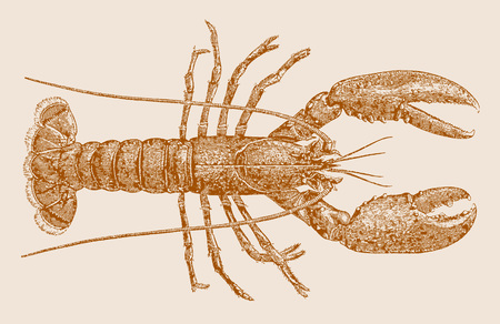 Norway lobster or dublin bay prawn (nephrops norvegicus) in top view. Illustration after a historic engraving, etching or lithography from the 19th century. Easy editable in layers