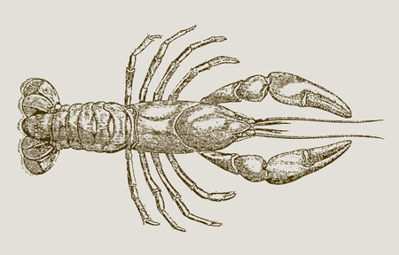 Parastacus brasiliensis, a freshwater crayfish from brazil in top view. Illustration after a historic engraving, etching or lithography from the 19th century. Easy editable in layers