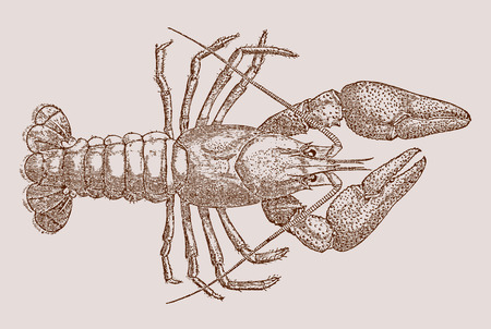 European crayfish (astacus) in top view. Illustration after a historic engraving, etching or lithography from the 19th century. Easy editable in layers Illustration