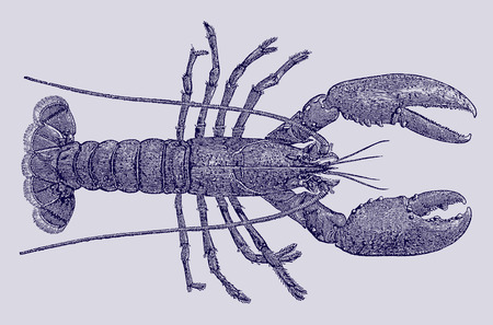 European or common lobster (homarus gammarus) in top view. Illustration after a historic engraving, etching or lithography from the 19th century. Easy editable in layers Vector Illustration