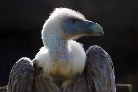 Head of a griffon vulture (gyps fulvus) in profile view shining in the bright sunlight