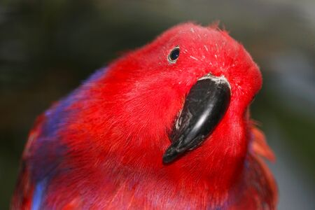 Bright red female eclectus parrot (eclectus roratus) with the head tilted to the side in frontal view