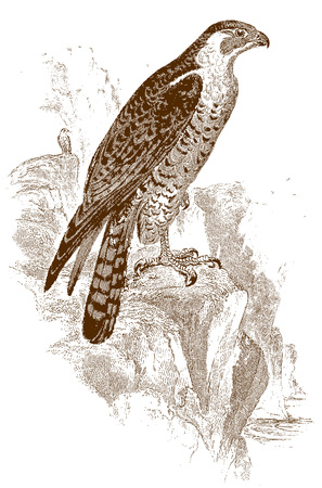 Peregrine falcon (falco peregrinus) in side view, sitting on a rock by the sea. Illustration after a historic steel engraving from the early 19th century