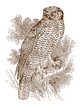 Northern hawk-owl (surnia ulula) sitting on a branch, looking backwards. Illustration after a historic steel engraving from the early 19th century Vectores