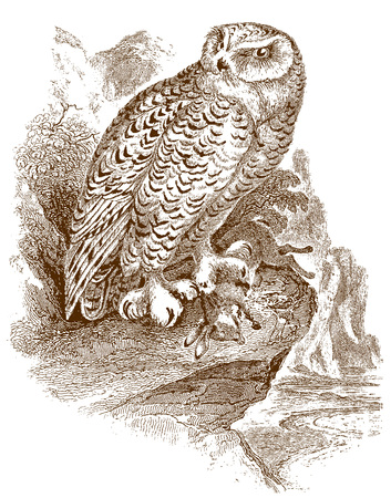 Snowy owl (bubo scandiacus) sitting on a rock and holding a captured dead rabbit or bunny in its claw. Illustration after a historic steel engraving from the early 19th century