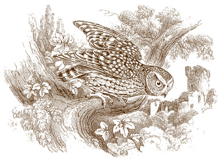 Naked-footed night owl (scotophilus nudipes) sitting on a branch. Illustration after a historic steel engraving from the early 19th century Vector Illustration