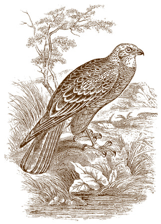 Marsh harrier (circus aeruginosus) sitting on the bank of a water body. Illustration after a historic steel engraving from the early 19th century