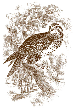 Common buzzard (buteo) sitting on a branch. Illustration after a historic steel engraving from the early 19th century