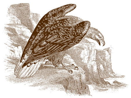White-tailed eagle (haliaeetus albicilla) sitting on a rock, looking down to the sea. Illustration after a historic steel engraving from the early 19th century