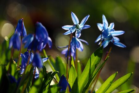 Cluster of blue siberian squill flowers (scilla siberica) shining in the sun