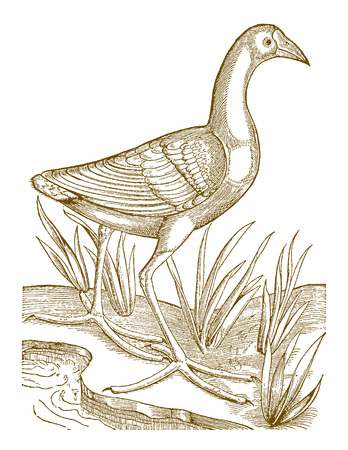 Western swamphen (porphyrio) with huge feet sitting between grasses on the bank of a water body. Illustration after a historic woodcut from the 16th century