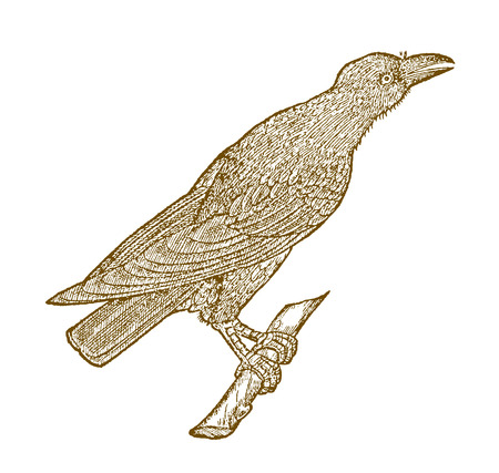Croacking carrion crow (corvus corone) sitting on a branch. Illustration after a historic woodcut from the 16th century Иллюстрация