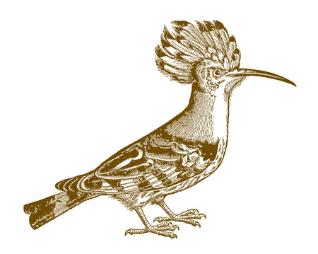Eurasian hoopoe (upupa epops) in side view. Illustration after a historic woodcut from the 16th century Ilustración de vector