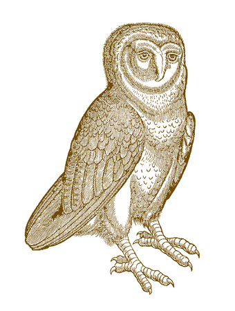 Western barn owl (tyto alba) in quarter front view. Illustration after a historic woodcut from the 16th century Ilustração