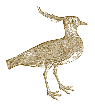 Northern lapwing (vanellus) with a funny crest. Illustration after a historic woodcut from the 16th century Фото со стока - 128799892