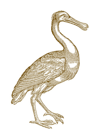 Walking eurasian spoonbill or common spoonbill (platalea leucorodia) in side view. Illustration after a historic woodcut from the 16th century