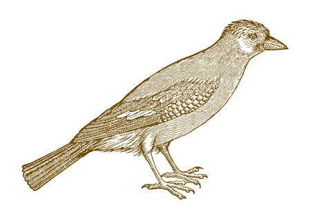 Jay euroasiático (garrulus glandarius) en vista lateral. Ilustración según un histórico grabado en madera del siglo XVI.