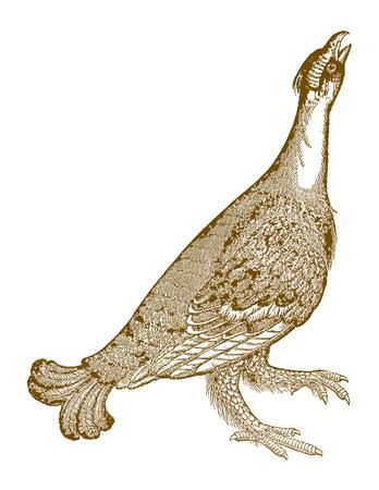 Calling black grouse (tetrao tetrix or lyrurus tetrix) raising its head in the air. Illustration after a historic woodcut from the 16th century Ilustração