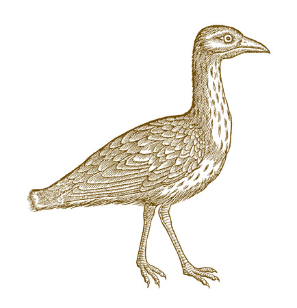 Walking eurasian stone curlew, eurasian thick-knee or stone-curlew (burhinus oedicnemus). Illustration after a historic woodcut from the 16th century