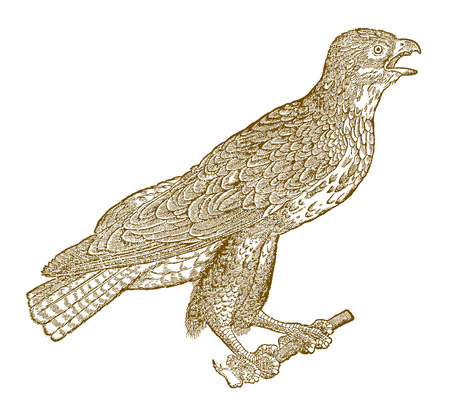 Screaming common buzzard (buteo) sitting on a branch. Illustration after a historic woodcut from the 16th century