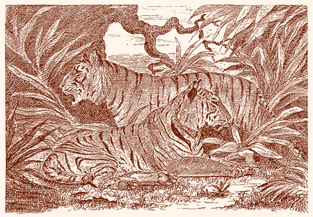 Two tigers (panthera tigris) in the jungle. Illustration after an engraving from the 19th century. Editable in layers