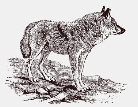 Indian wolf (canis lupus pallipes) standing in a rocky landscape. Illustration after an engraving from the 19th century