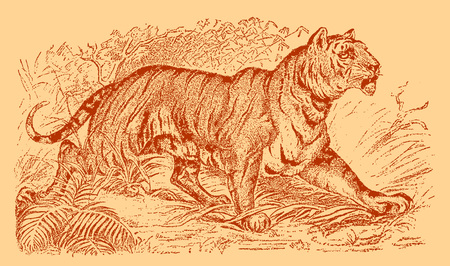 Tiger (panthera tigris) walking in a landscape with bushes, grasses and trees. Illustration after an engraving from the 19th century. Editable in layers