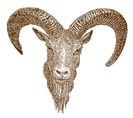 Head of a male afghan urial (ovis cycloceros) in frontal view. Illustration after an engraving from the 19th century