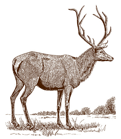 Male elk or wapiti (cervus canadensis) in side view, standing in a landscape. Illustration after a historic engraving from the 19th century