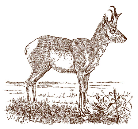 Male pronghorn (antilocapra americana) in side view, standing in a landscape. Illustration after a historic engraving from the 19th century