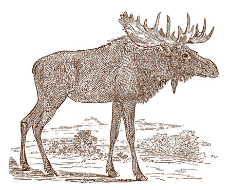 Male moose (alces) bull in side view, standing in a landscape. Illustration after a historic engraving from the 19th century