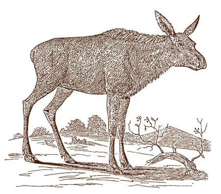 Samica łosia (alces) krowa w widoku z boku, stojąc w krajobrazie. Ilustracja po historycznej rycinie z XIX wieku Ilustracje wektorowe