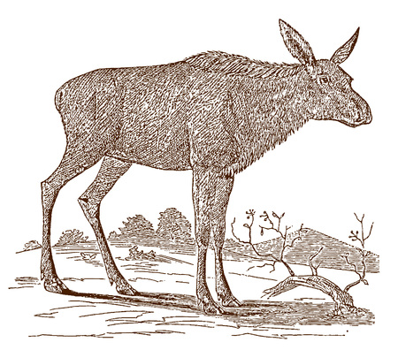 Female moose (alces) cow in side view, standing in a landscape. Illustration after a historic engraving from the 19th century
