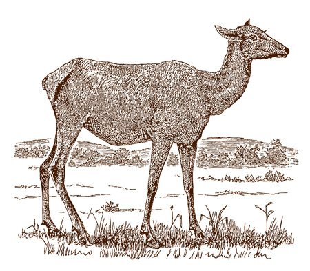 Female elk or wapiti (cervus canadensis) in side view, standing in a landscape. Illustration after a historic engraving from the 19th century Ilustração