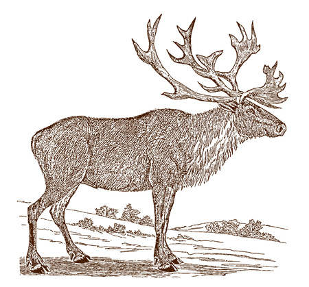 Endangered male boreal woodland caribou or reindeer (rangifer tarandus caribou) in side view, standing in a landscape. Illustration after a historic engraving from the 19th century Stock Vector - 128800035