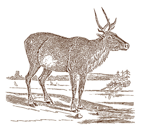 Endangered female boreal woodland caribou or reindeer (rangifer tarandus caribou) in side view, standing in a landscape. Illustration after a historic engraving from the 19th century