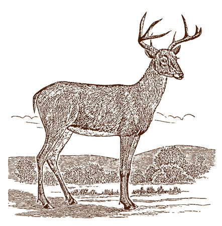 Male white-tailed deer (odocoileus virginianus) buck in side view, standing in a landscape. Illustration after a historic engraving from the 19th century