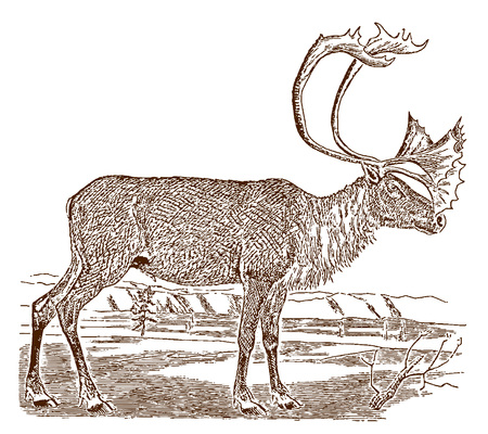 Male barren-ground caribou (rangifer tarandus groenlandicus) in side view, standing in a landscape. Illustration after a historic engraving from the 19th century Stock Vector - 128800046