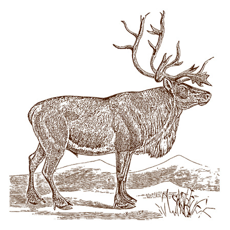 Male reindeer or caribou (rangifer tarandus) in side view, standing in a landscape. Illustration after a historic engraving from the 19th century