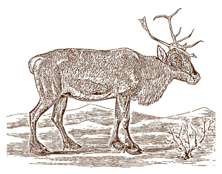 Female reindeer or caribou (rangifer tarandus) in side view, standing in a landscape. Illustration after a historic engraving from the 19th century Stock Vector - 128800047