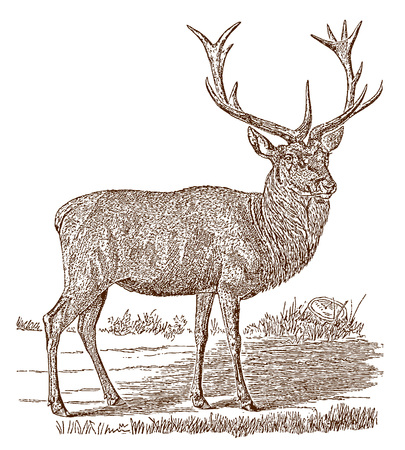 Male red deer (cervus elaphus) stag in side view, standing in a landscape. Illustration after a historic engraving from the 19th century Vettoriali