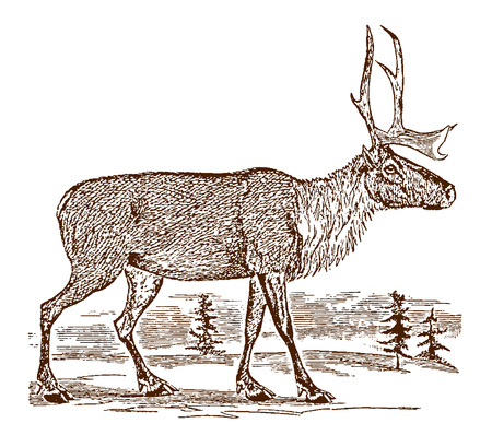 Female barren-ground caribou (rangifer tarandus groenlandicus) in side view, standing in a landscape. Illustration after a historic engraving from the 19th century