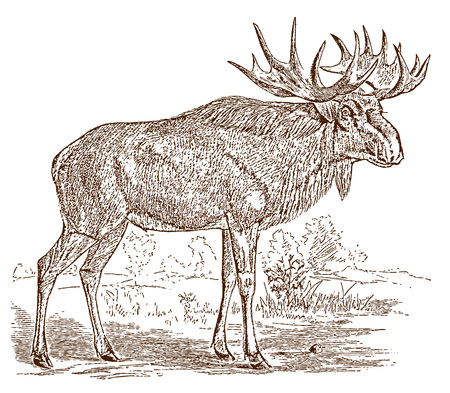 Male european or scandinavian elk (alces) bull in side view, standing in a landscape. Illustration after a historic engraving from the 19th century