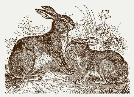 European hare (lepus europaeus) and european rabbit (oryctolagus cuniculus) sitting in a meadow. Illustration after a historic engraving from the 19th century. Easy editable in layers