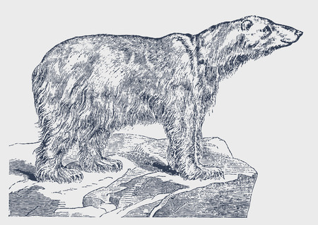 Endangered polar bear (ursus maritimus) standing on an iceberg. Illustration after a historic engraving from the 19th century