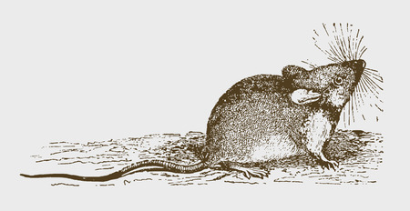 Wood mouse (apodemus sylvaticus) sitting on the ground, looking upwards. Illustration after a historic engraving from the 19th century