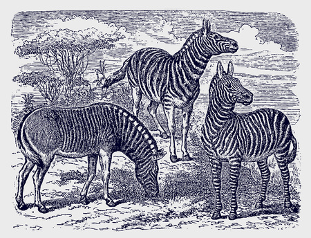 Two zebras (equus zebra) and an extinct quagga standing in an african savanna woodland landscape. Illustration after a historic engraving from the 19th century