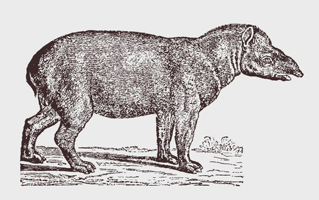 South American tapir (Tapirus terrestris) in side view. Illustration after a historic engraving from the 19th century. Easy editable in layers
